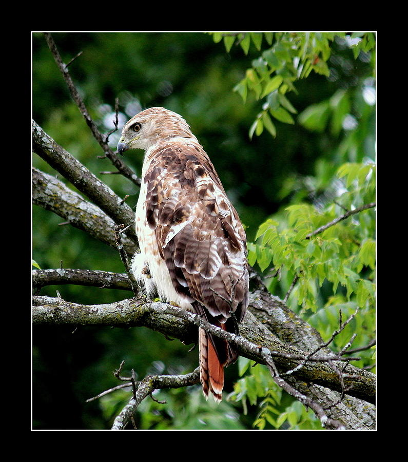 Hawk Photograph - Red Tail Hawk 1 by Rosanne Jordan