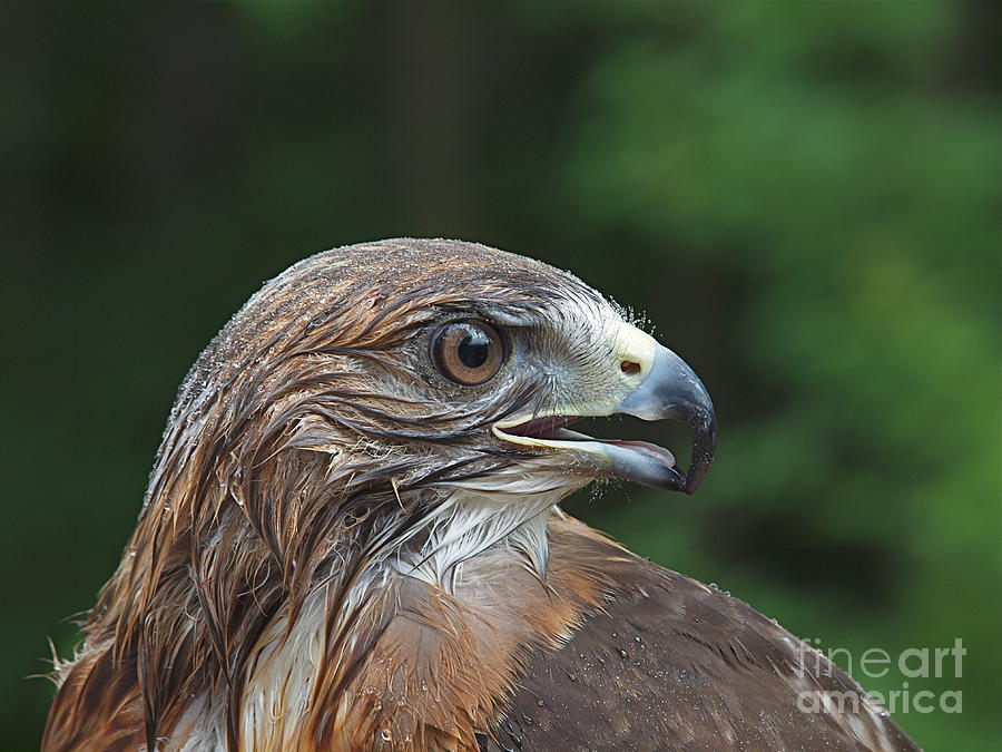 Red Tail Hawks Photograph - Red Tail Hawk Rain by Peter Gray