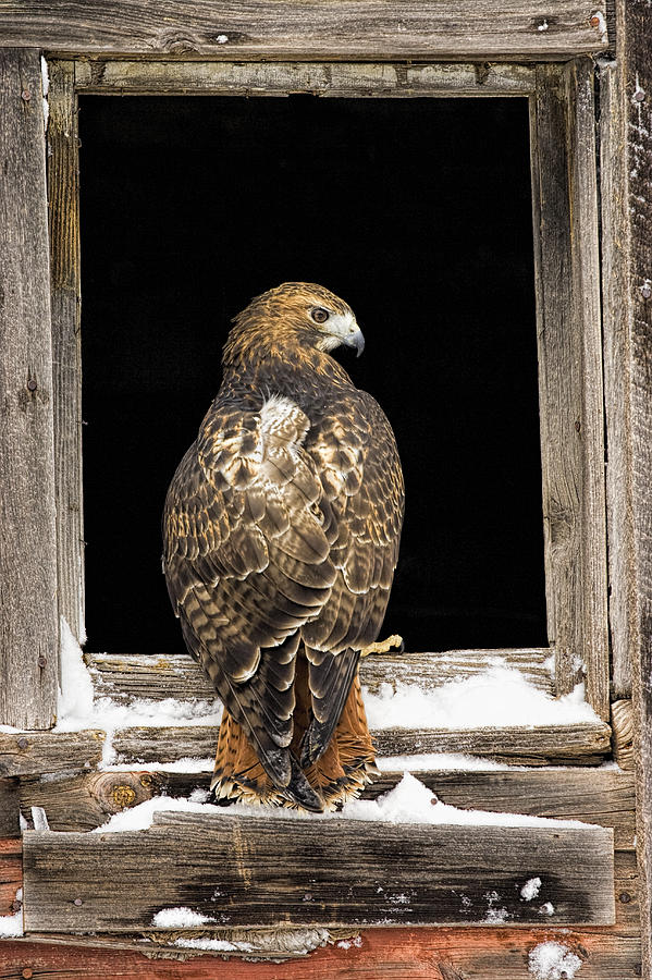 Hawk Photograph - Red Tail by Jack Milchanowski