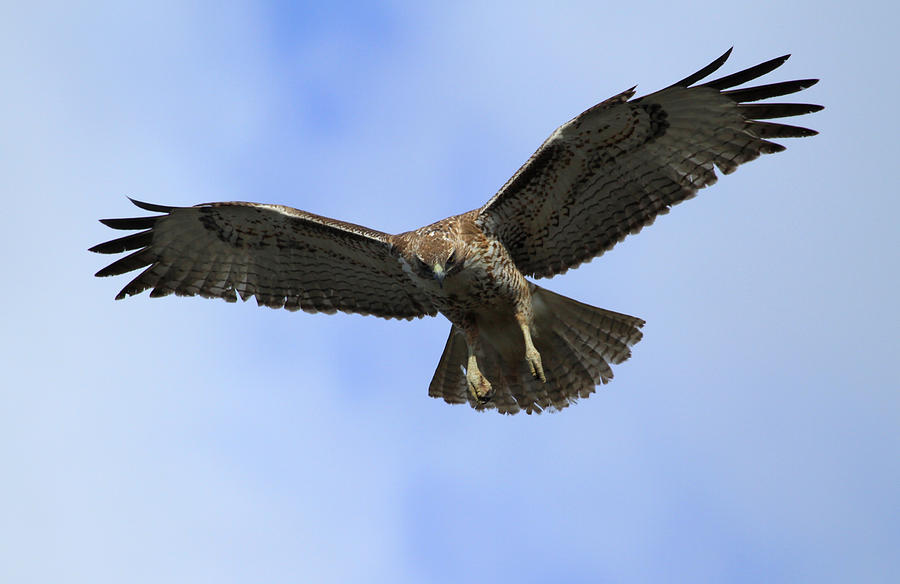 Red Photograph - Red Tail Raptor by Darrin Aldridge