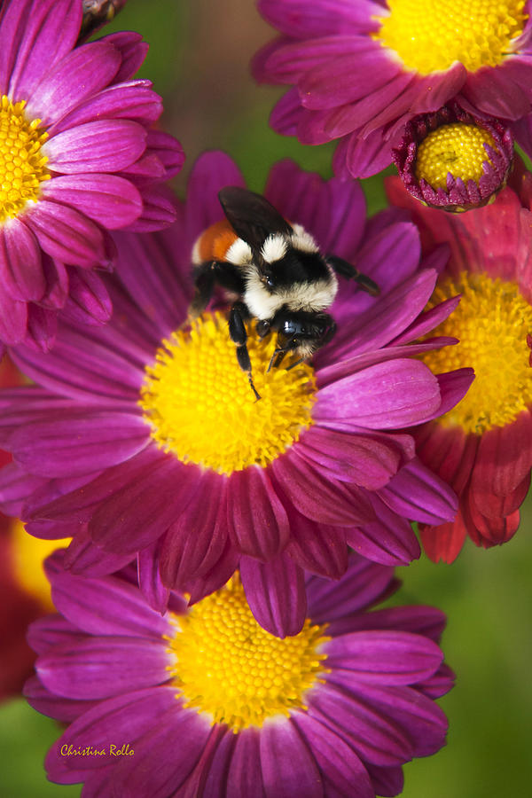 Bee Photograph - Red-tailed Bumble Bee by Christina Rollo