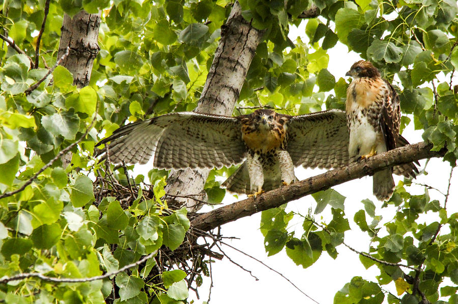 Red-tailed Hawk Photograph - Red-tailed Fledges by Jill Bell