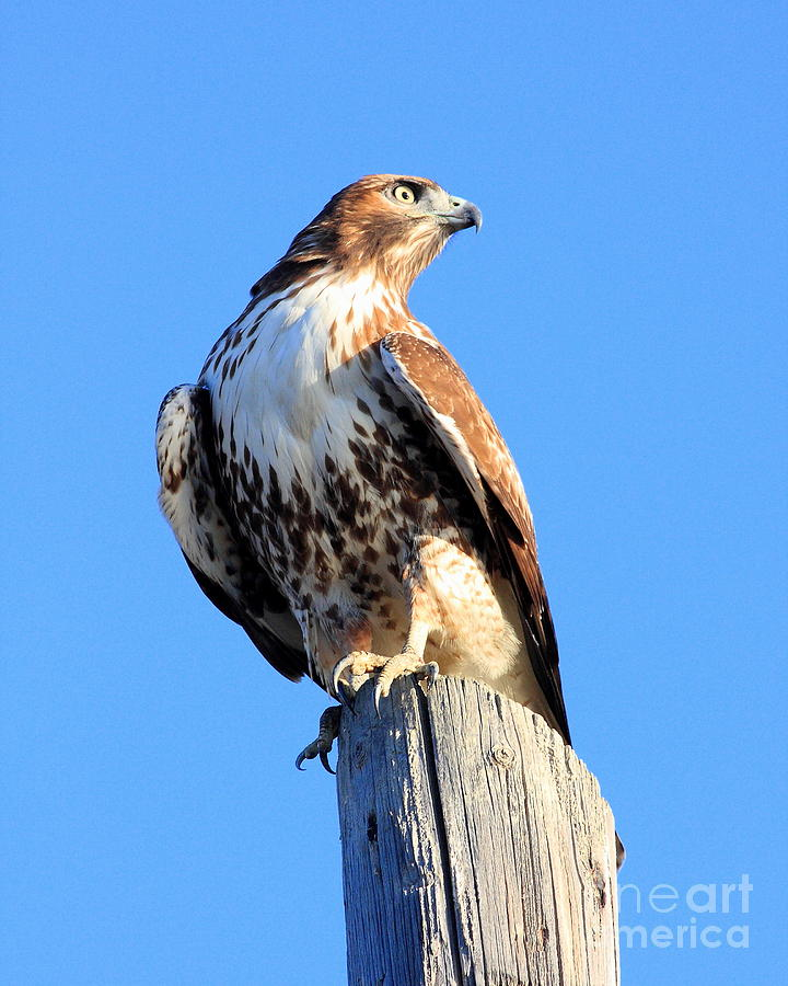 Red Tail Hawk Photograph - Red-tailed Hawk . 40d10167 by Wingsdomain Art and Photography