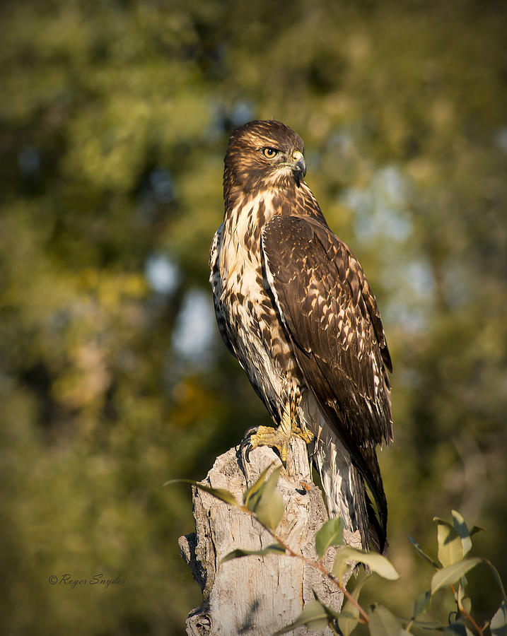 Beautiful Photograph - Red Tailed Hawk 1 by Roger Snyder