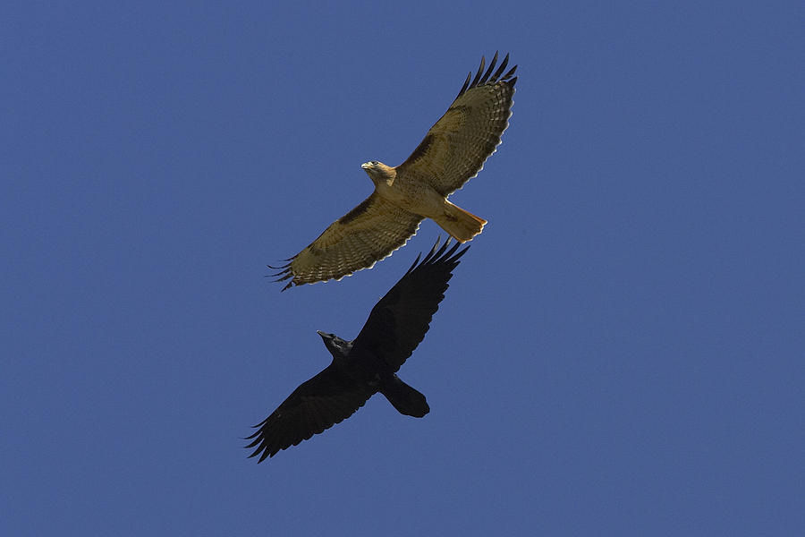 Red Tailed Hawk And Common Raven Flying Photograph By San