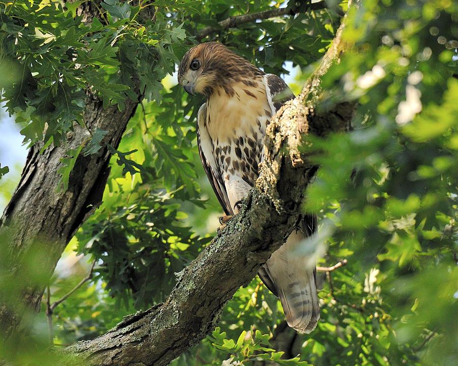 Wildlife Digital Art - Red Tailed Hawk by Angel Cher