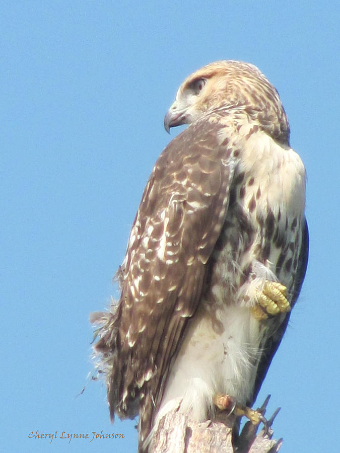 Nature Photograph - Red Tailed Hawk by Cheryl Lynne  Leech-Johnson