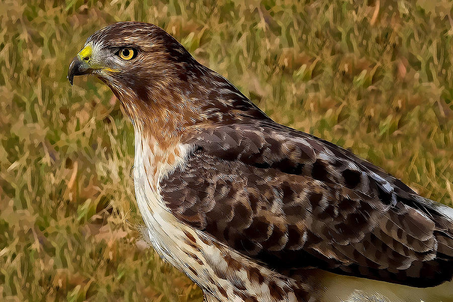 Bird Photograph - Red Tailed Hawk Close Up by John Absher