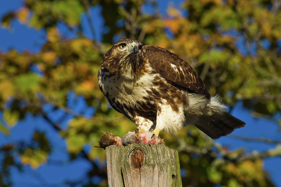 Horizontal Photograph - Red Tailed Hawk Holding Dead Squirrel by Animal Images