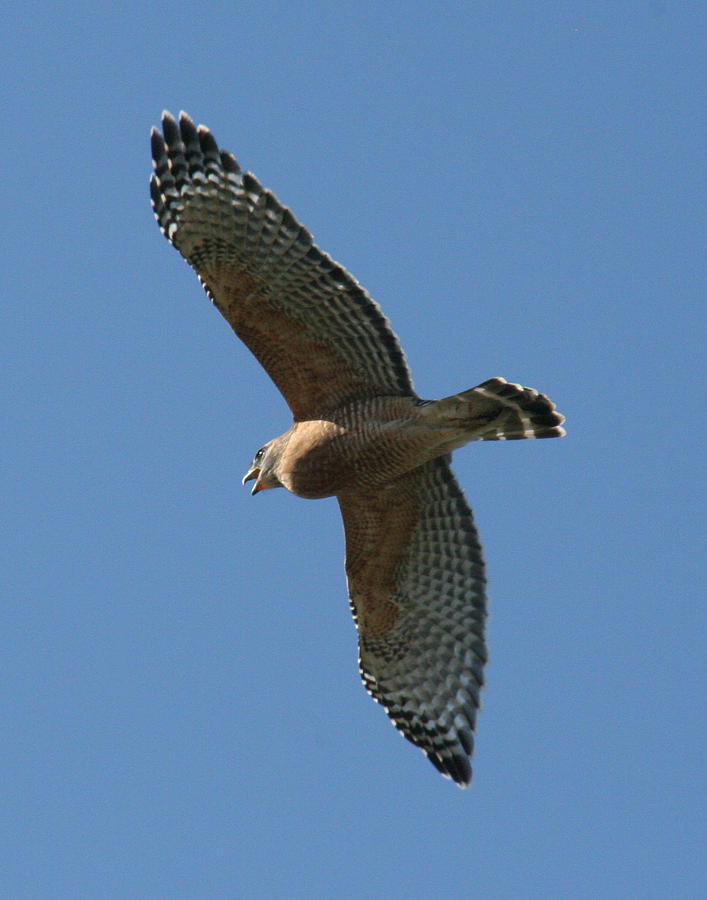 Red Tailed Hawk Photograph - Red Tailed Hawk by Jeff Wright