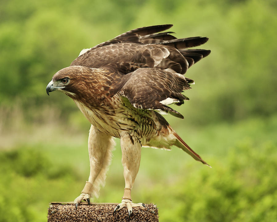 Red Tailed Hawk Photograph by Jody Trappe Photography