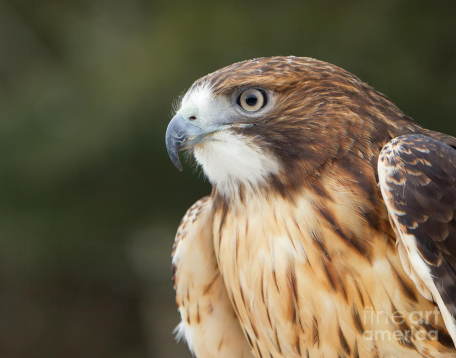 Buteo Jamaicensis Photograph - Red Tailed Hawk  by Joshua Clark