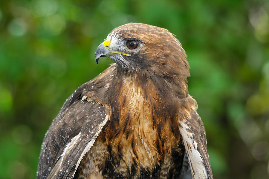 Hawk Photograph - Red-tailed Hawk Close-up by Kimberly Kotzian