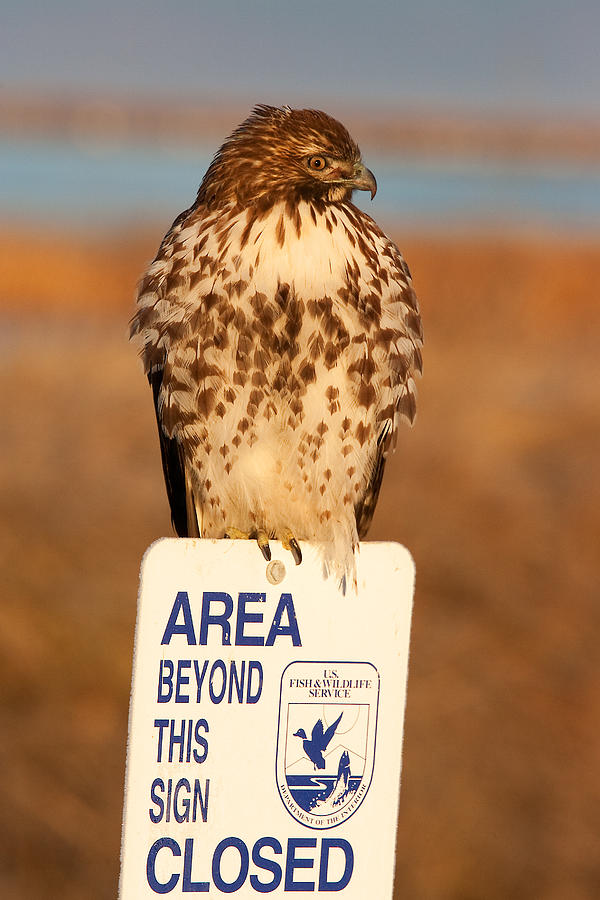 Red-tailed Photograph - Red Tailed Hawk Lower Klamath National Wildlife Refuge Northern California by Ram Vasudev