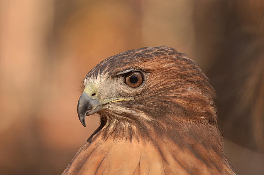 Red-tailed Hawk Photograph - Red-tailed Hawk by Nancy Landry