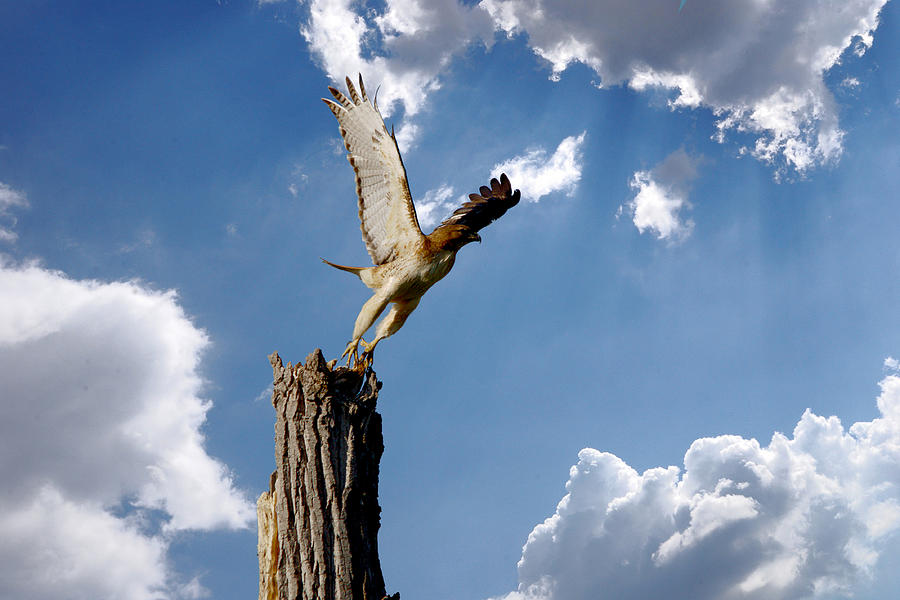 Bird Photograph - Red-tailed Hawk Perch Series 5 by Roy Williams