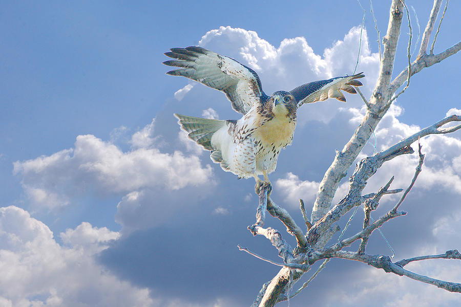 Bird Photograph - Red-tailed Hawk Pirouette Pose by Roy Williams