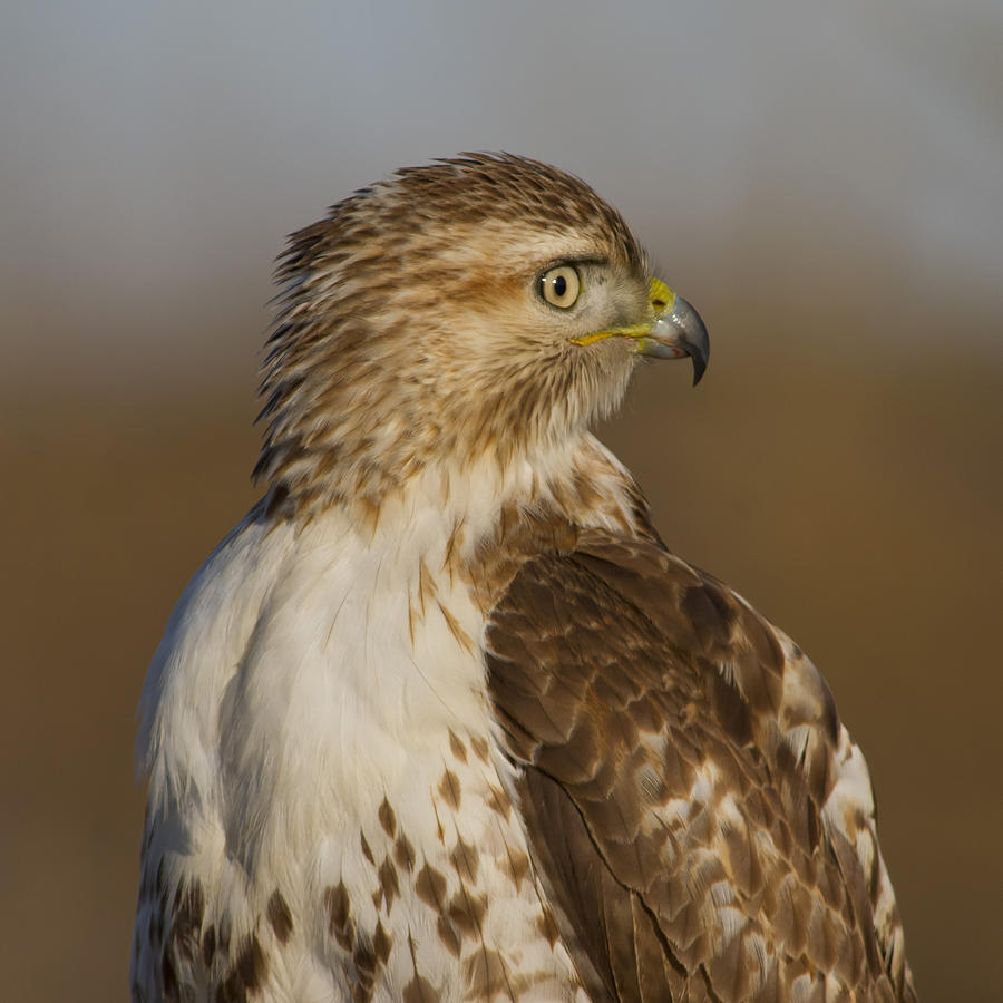 Red-tailed Hawk portrait by Larry Bohlin