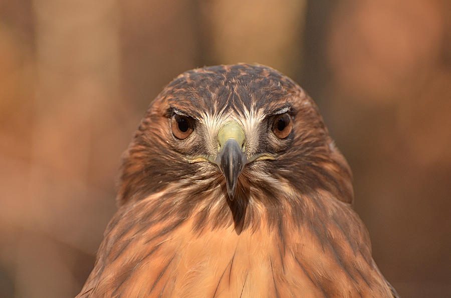 Red-tailed Hawk Photograph - Red-tailed Hawk Stare by Nancy Landry