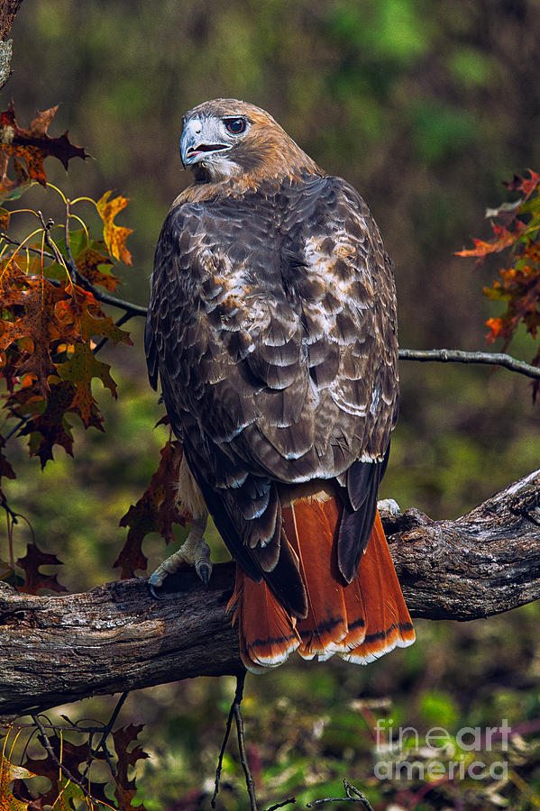 Large Bird Of Prey Photograph - Red Tailed Hawk by Todd Bielby