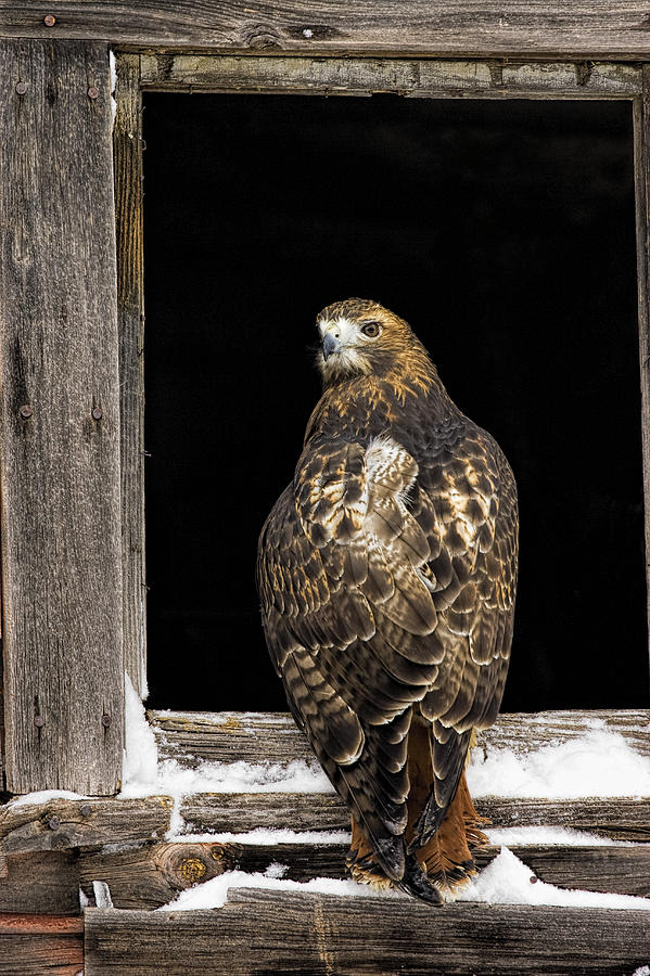 Hawk Photograph - Red Tailed by Jack Milchanowski