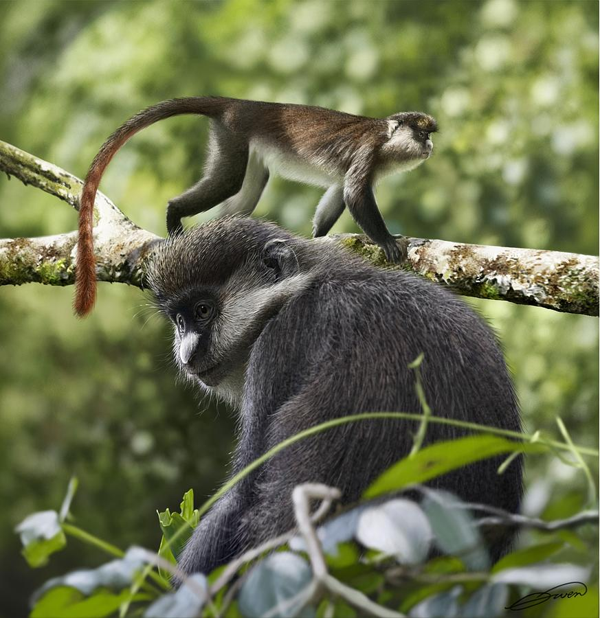 RED-TAILED MONKEY Cercopithecus ascanius by Owen Bell