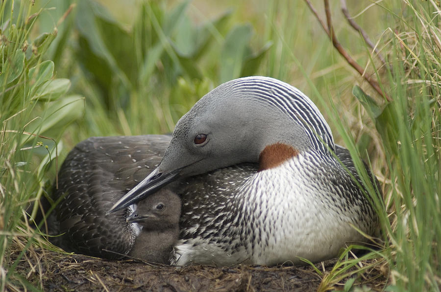 Red-throated Loon With Day Old Chick Photograph by Michael Quinton