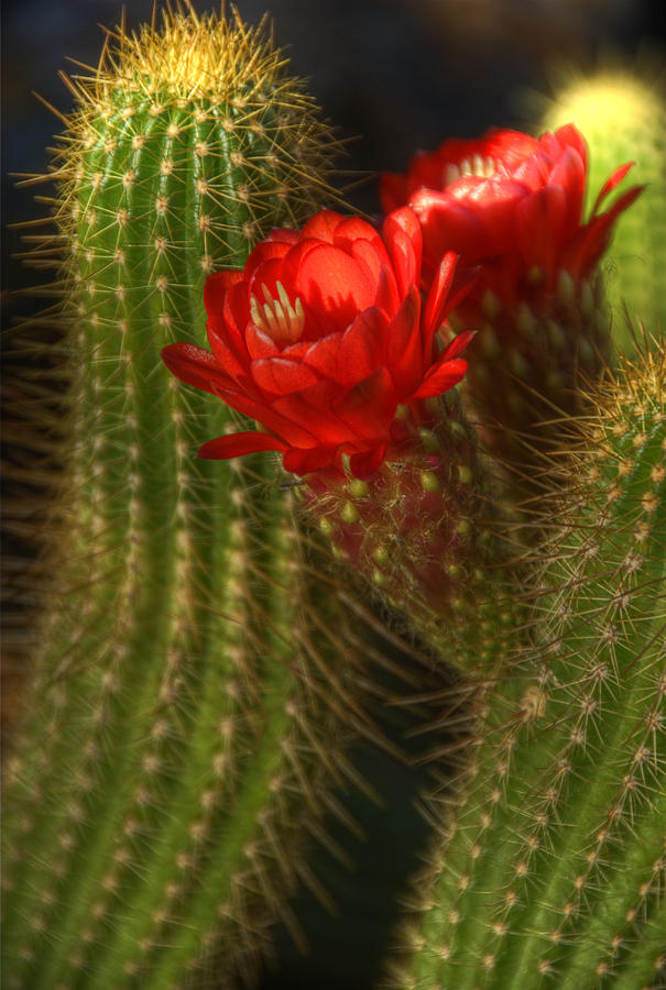 Red Torch Cactus Photograph - Red Torch II  by Saija  Lehtonen