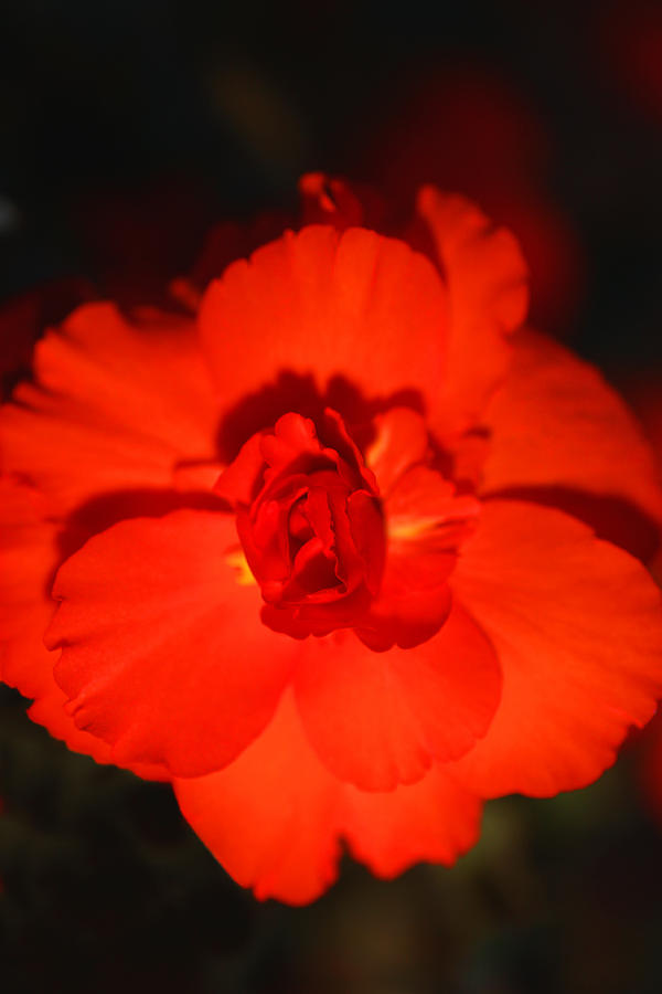 Red Photograph - Red Tuberous Begonia by Carole-Anne Fooks