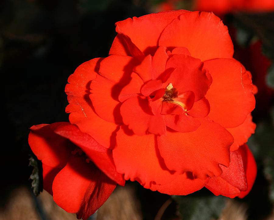 Red Photograph - Red Tuberous Begonia Flower by Carole-Anne Fooks