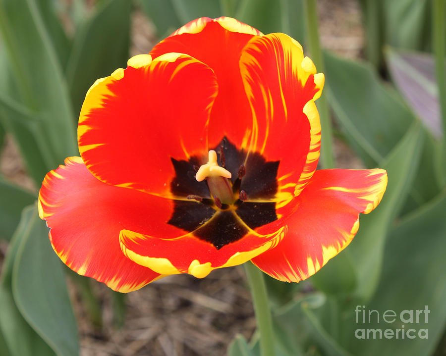 Telfer Photograph - Red Tulip At Brooklyn Botanical Gardens by John Telfer