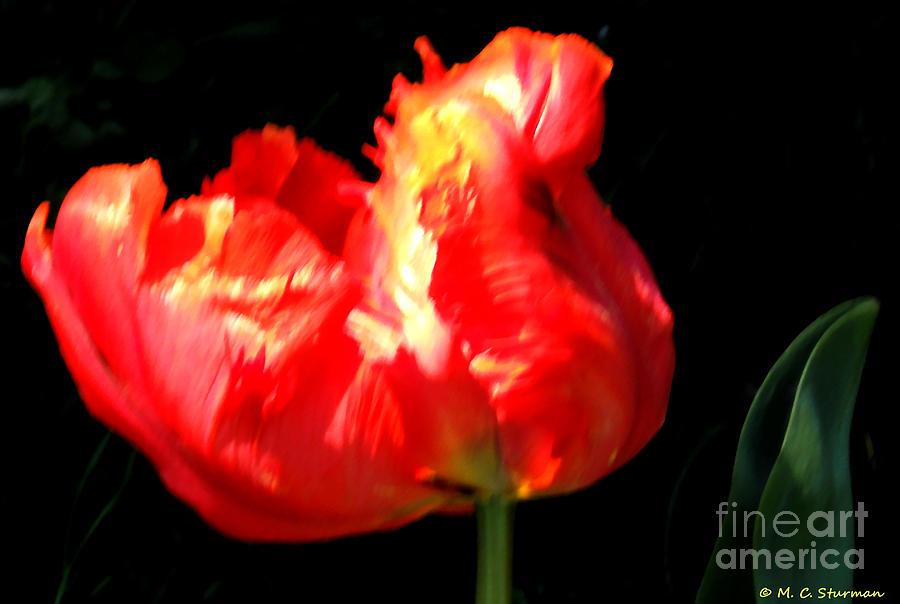 M C Sturman Painting - Red Tulip Blurred by M C Sturman