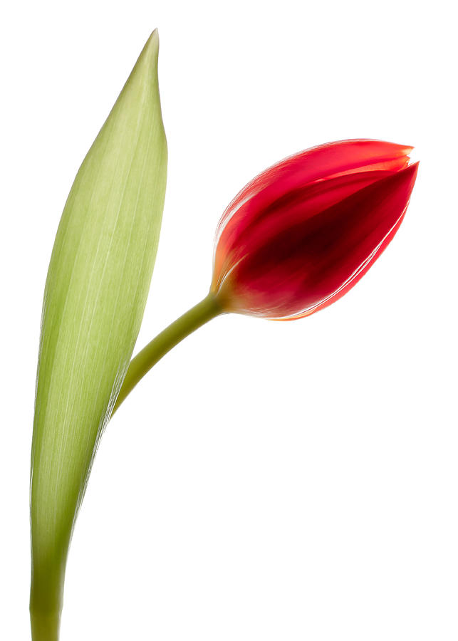 Red Tulip Photograph - Red Tulip by Dave Bowman