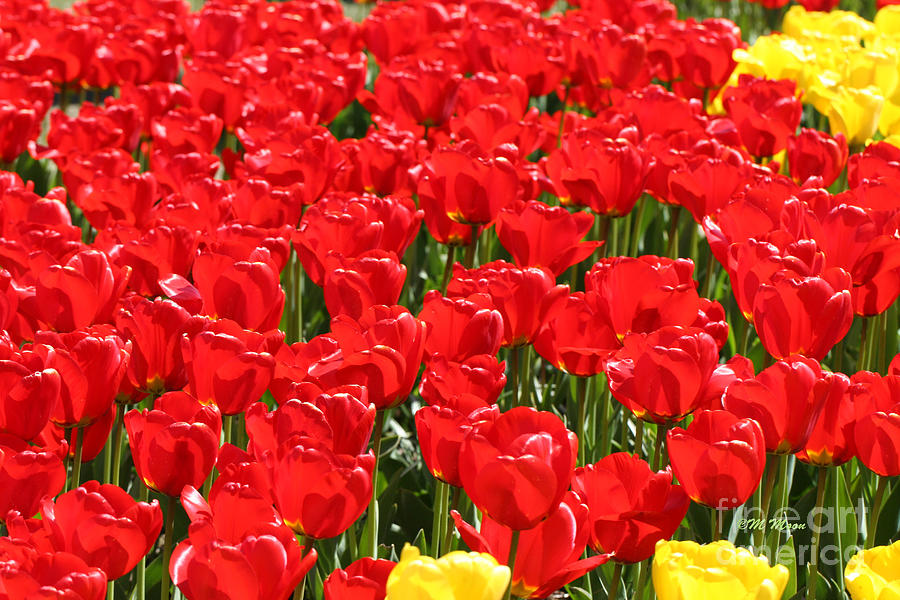 Yellow Photograph - Red Tulip Field by Tap On Photo