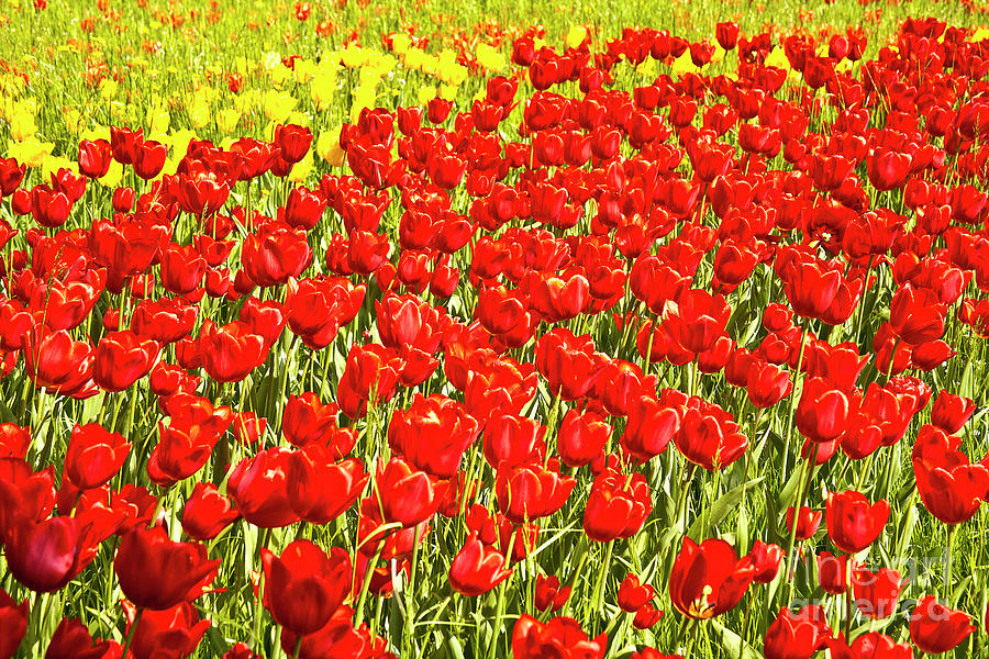Red Tulip Field On Island Mainau Photograph