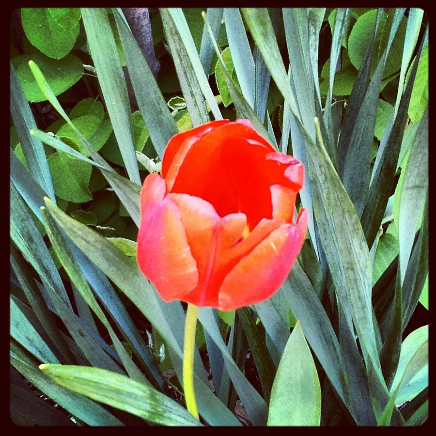 Red Tulip Photograph by Scott Snizek