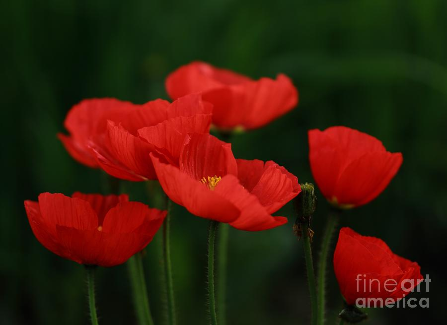 Nature Photograph - Red Tulip by Sylvia  Niklasson
