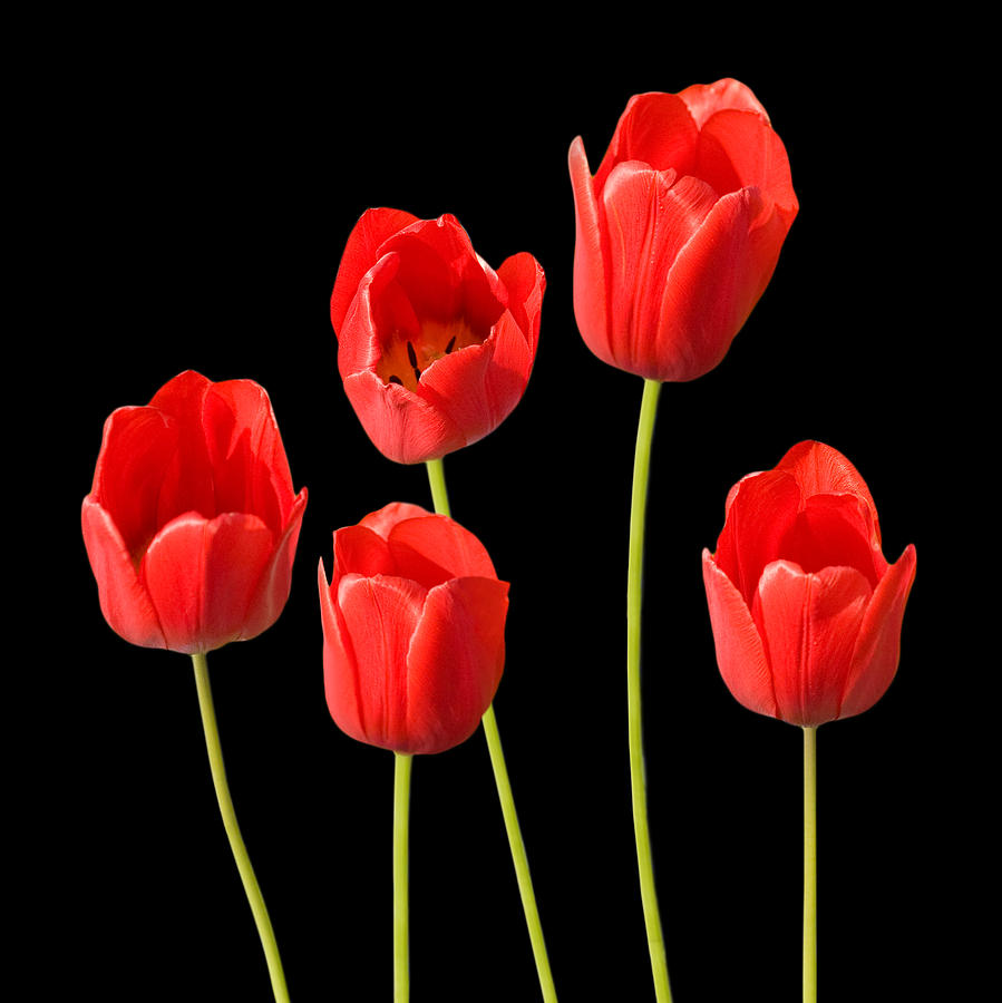 Red Tulips Black Background Photograph by Natalie Kinnear