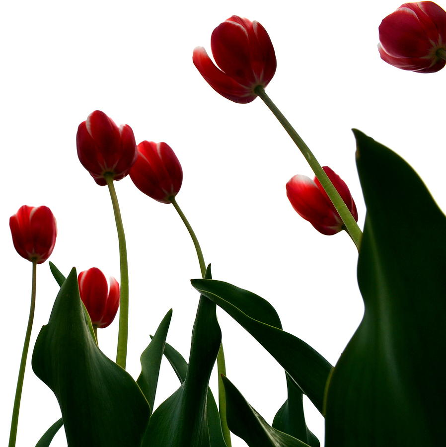 Hollander Photograph - Red Tulips From The Bottom Up Vl by Michelle Calkins