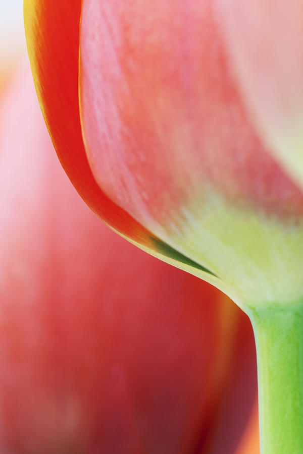 Flower Photograph - Red Tulips by Gillian Dernie