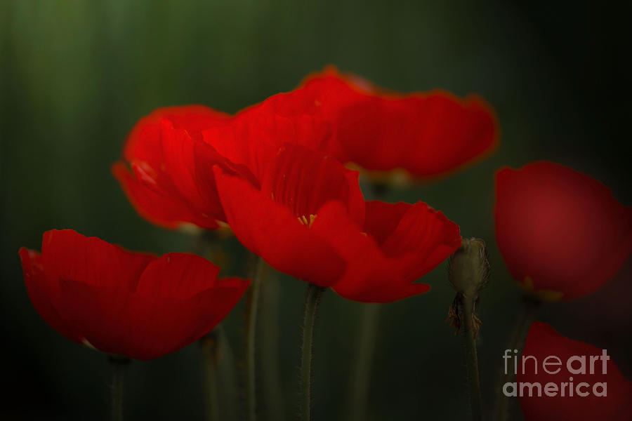 Flowers Photograph - Red Tulips by Sylvia  Niklasson