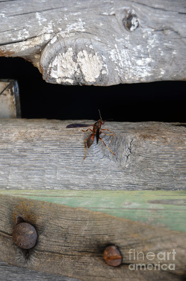 Natural Bridge Station Photograph - Red Wasp by Brenda Dorman