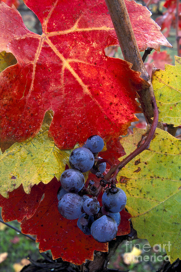 Agricultural Photograph - Red Wine Grapes And Leaves In Fall  by Gary Crabbe