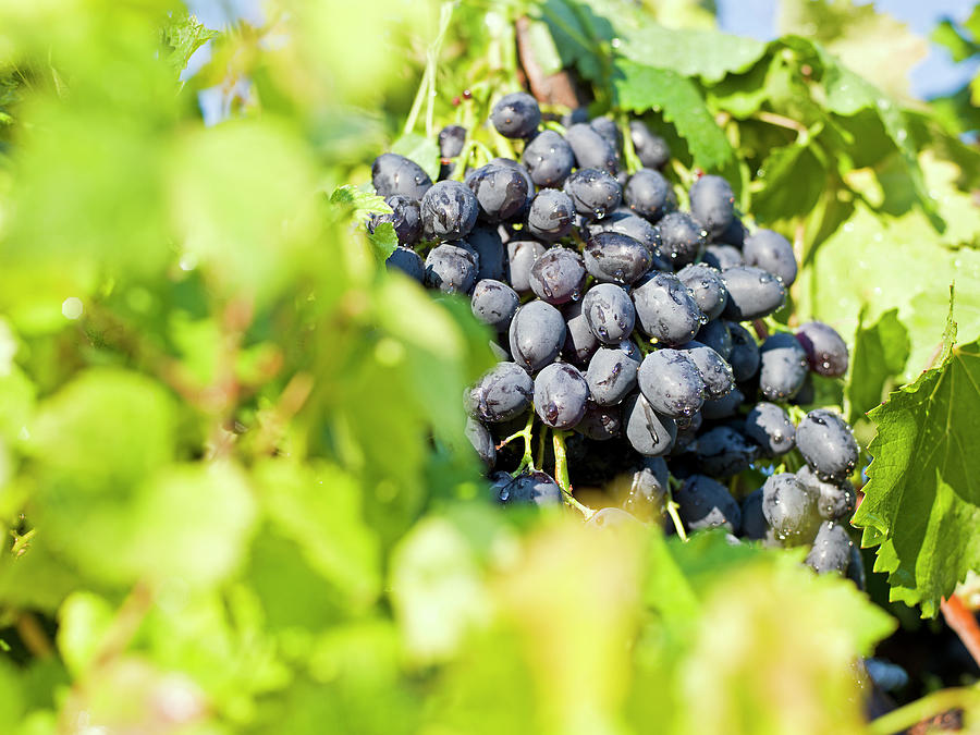 Red Wine Grapes Photograph by Ozgurdonmaz