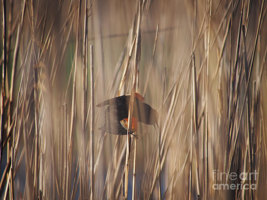 Red Wing Blackbird in Reeds 051213 by Gene  Marchand