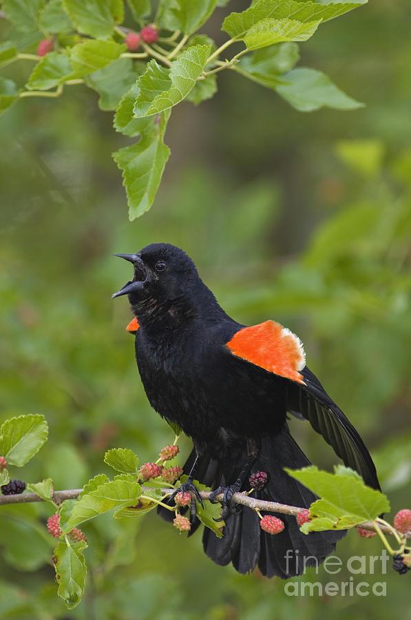 Red-winged Blackbird - D008481 Photograph