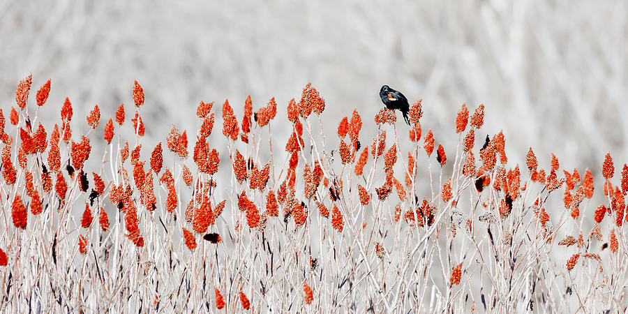 Red-winged Blackbird Photograph by Steven Ralser