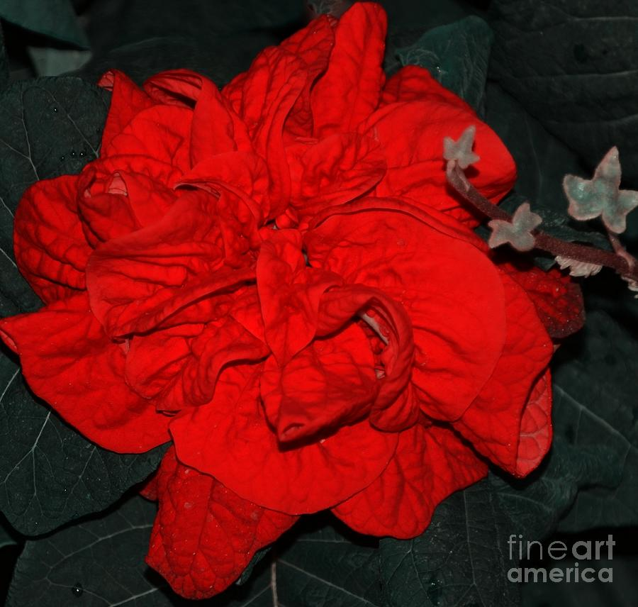 Red Photograph - Red Winter Rose by Kathleen Struckle