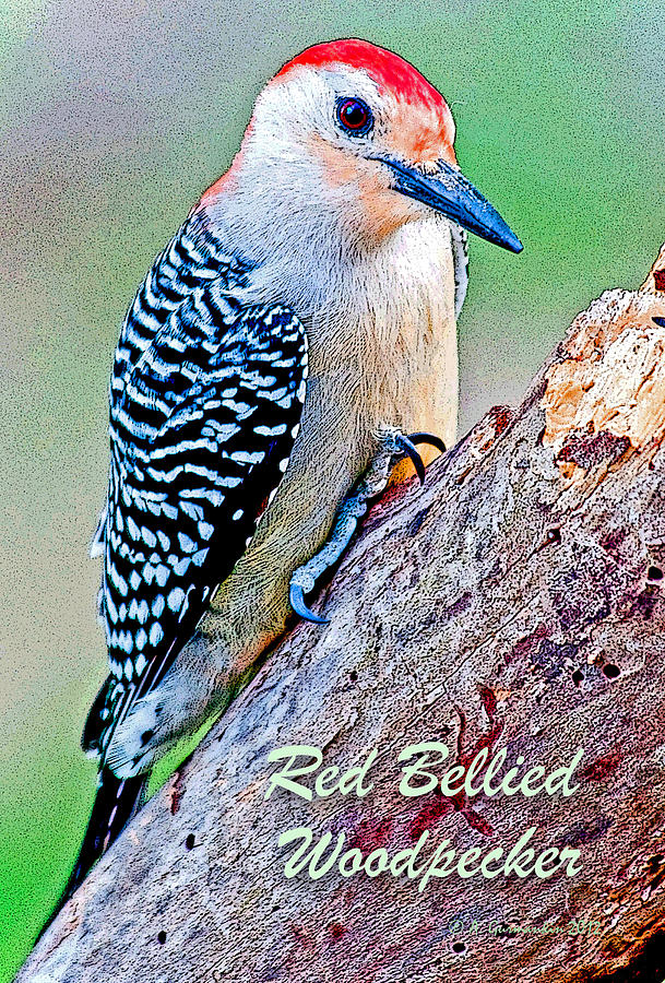 Bird Photograph - Redbellied Woodpecker Poster Image by A Gurmankin