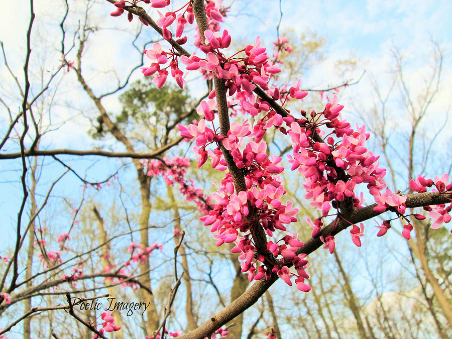 Pink Photograph - Redbud Buds by Debbie Sikes